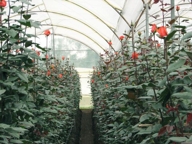 Голландские розы как сажать 45